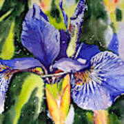 Iris In Bloom Art Print