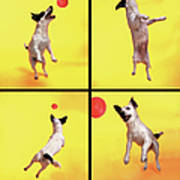 Jack Russell Jumping For Ball Art Print