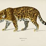 Jaguar  Panthera Onca  Illustrated By Charles Dessalines D' Orbigny  1806-1876  Art Print