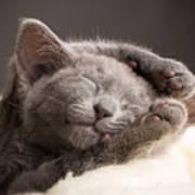 Kitten Sleeping, Russian Blue Cat Art Print