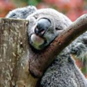 Koala Catching Zs Art Print