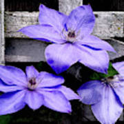 Lavender Clematis On Vine Art Print