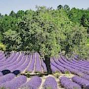 Lavender Field And Tree Art Print