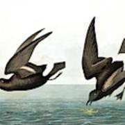 Least Stormy Petrel, Thalassidroma Pelagica By Audubon Art Print