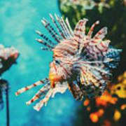 Lion Fish Hunting Among Coral Reefs Art Print