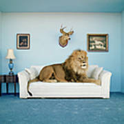 Lion Lying On Couch, Side View Art Print