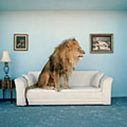 Lion Sitting On Couch, Side View Art Print