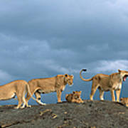 Lionesses And Cubs Panthera Leo On Art Print