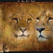 Lions No 02 Art Print