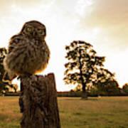Little Owl Sunset Art Print