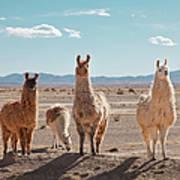 Llamas Posing In High Desert Art Print