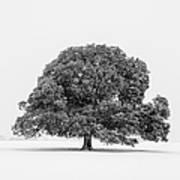 Lone Holm Oak Tree In Snow, Somerset, Uk Art Print