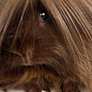 Long Haired Guinea Pig, Close-up Art Print