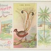 Lyre Bird Art Print