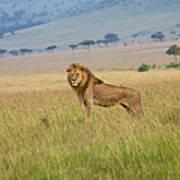 Male Lion In The Savanna Masai Mara Art Print