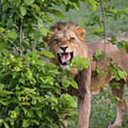 Male Lion With Teeth Bared, Botswana Art Print