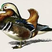 Mandarin Duck  Aix Galericulata Illustrated By Charles Dessalines D' Orbigny  1806-1876 1 Art Print