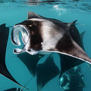 Manta Rays Filter Feeding, Hanifaru Art Print