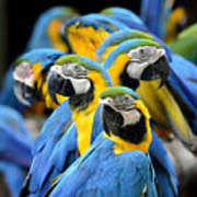 Many Of Blue And Gold Macaw Perching Art Print