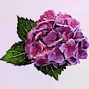 Maroon Hydrangea Art Print