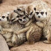 Meerkat Family Are Sunbathing Art Print