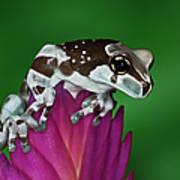 Milk Frog, Trachycephalus Resinifictrix Art Print