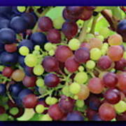 Mixed Grape Bunches 4 Art Print