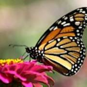 Monarch Butterfly 290 Art Print