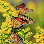 Monarch Gathering 2 Art Print