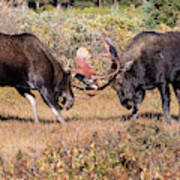 Moose Bulls Spar In The Colorado High Country Art Print