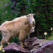 Mountain Goat Oreamnos Americanus Art Print