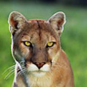 Mountain Lion Felis Concolor, Portrait Art Print
