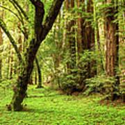 Muir Woods Forest Art Print
