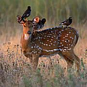 Myna Birds Sturnidae Sp. On Axis Deer Art Print
