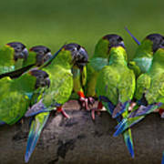 Nanday Parakeets Perched In A Row In Art Print