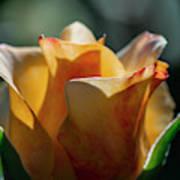 Nature - Amber Rose Vase Like Art Print