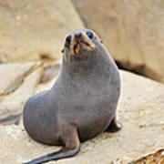 New Zealand Fur Seal, Arctocephalus Art Print