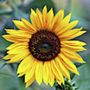 One Bright Sunflower Art Print