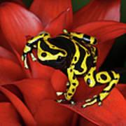 Orange Banded Dart Frog  Dendrobates Art Print