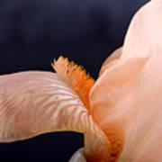Orange Cosmos Flower On Black Background Art Print