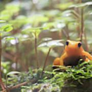 Orange Frog. Art Print
