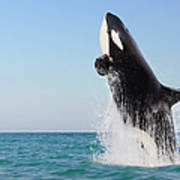 Orca Jumping Out Of Water Art Print