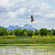 Osprey Over The Wetlands Art Print