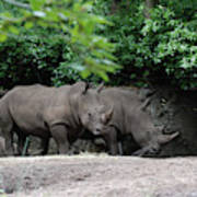 Pair Of Rhinos Standing In The Shade Of Trees Art Print
