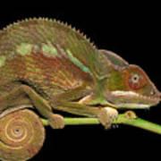 Panther Chameleon Furcifer Pardalis In Art Print