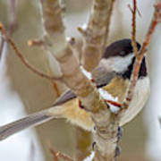 Peaceful Winter Chickadee  Art Print