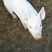 Pig Standing In Dirt Field Art Print