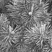 Pine Cones And Needles, Close-up B&w Art Print