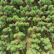 Pine Rows Aerial 2x1 Art Print