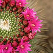 Pink Cactus Flower In Full Bloom Art Print